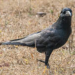 Corbeau indien