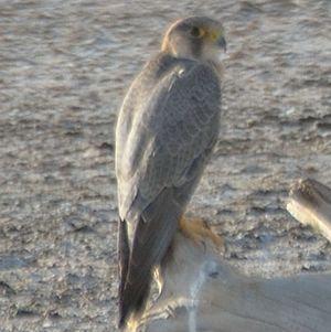 Faucon de Barbarie