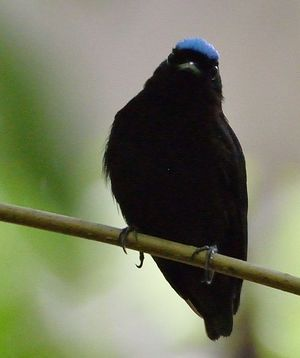 Manakin à tête bleue