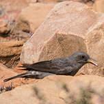 Traquet montagnard