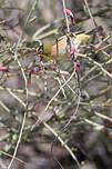 Zostérops gris-vert