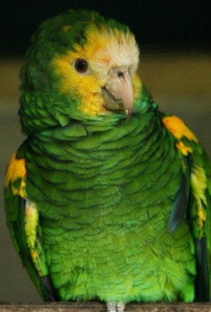 Amazone à épaulettes jaunes