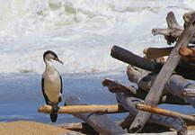 Cormoran varié