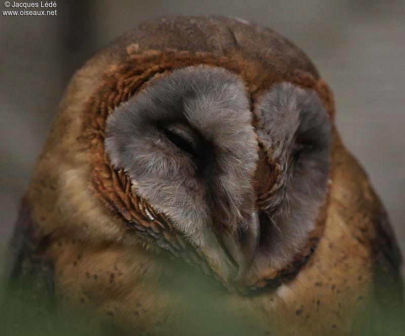 Effraie de Taliabu - Tyto nigrobrunnea - photo#40