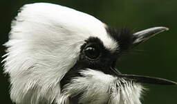 Garrulaxe bicolore
