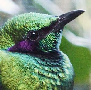Choucador iris