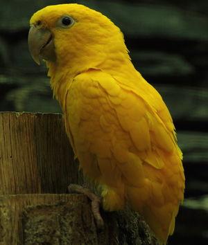 Conure dorée