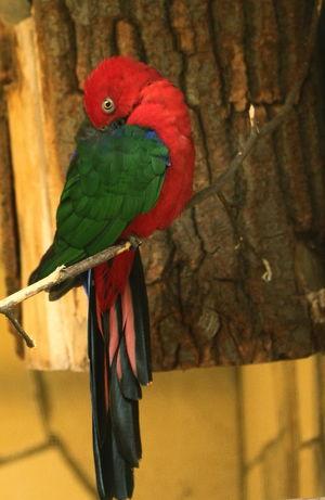 Perruche tricolore