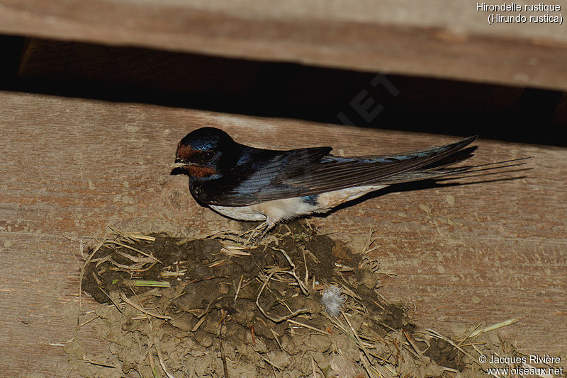 Barn Swallow - Hirundo rustica male adult breeding ...