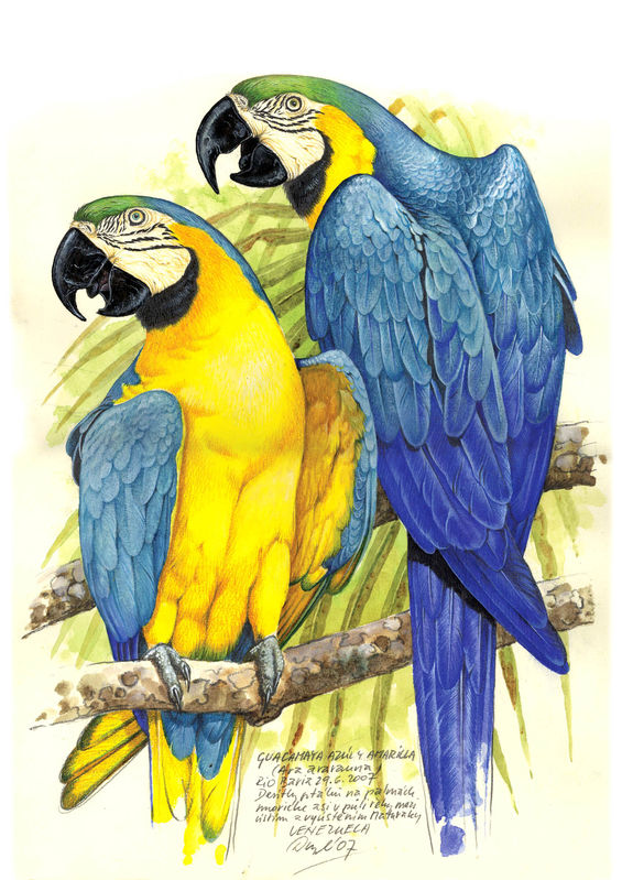 http://www.oiseaux.net/photos/jan.dungel/images/ara.bleu.jadu.0g.jpg