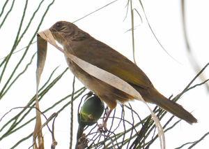 Bulbul aux ailes olive