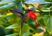 Colibri huppé