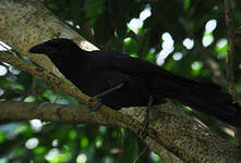 Corneille de la Jamaïque