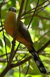 Coulicou manioc