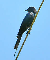 Drongo royal