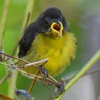 Sucrier à ventre jaune