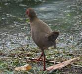 Marouette brune