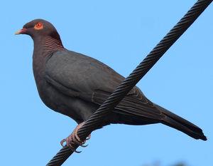 Pigeon à cou rouge