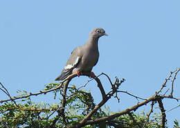 Pigeon jounud