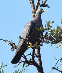 Pigeon rameron