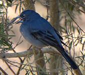 Pinson bleu
