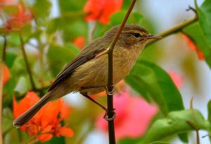 Pouillot des Canaries