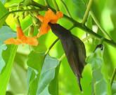 Souimanga des Seychelles