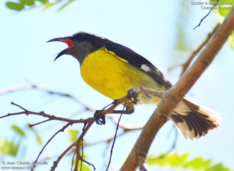 Sucrier ventre jaune ref jcja136139 for Oiseau ventre jaune
