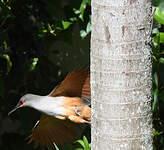 Tacco d'Hispaniola