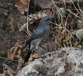 Traquet à queue noire