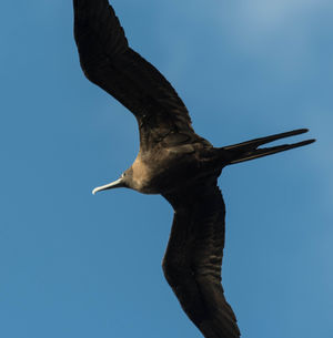 Frégate aigle-de-mer