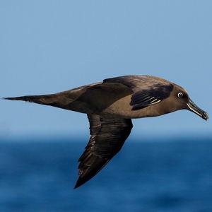 Albatros brun