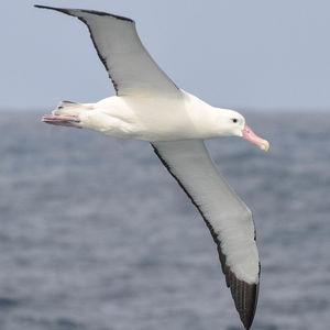 Albatros de Tristan