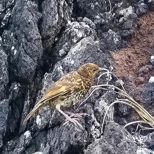 Grive de Tristan da Cunha