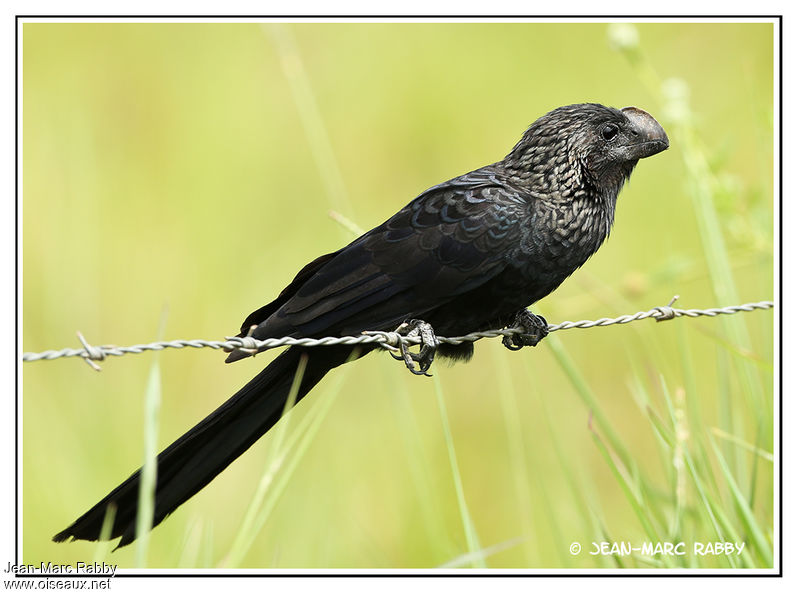Smooth-billed Ani , identification