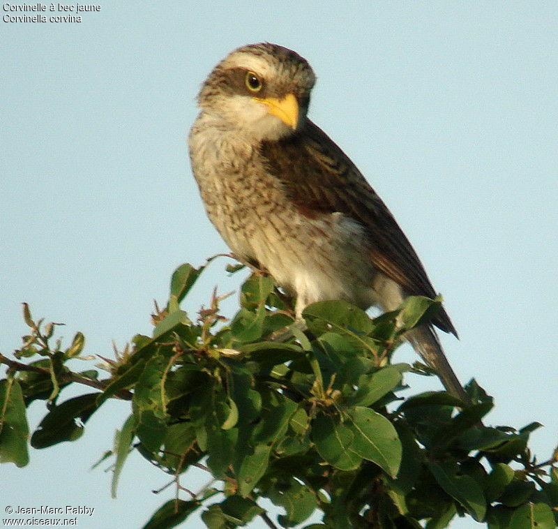 oiseau bec jaune images
