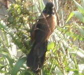 Coucal noir