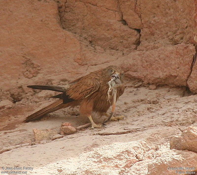 Falconiformes. sub Falconidae - sub fam Falconinae - gênero Falco Crecerelle.renard.jmra.1g