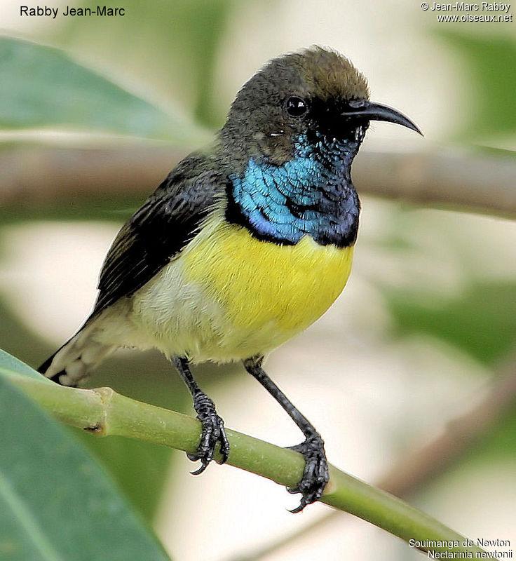 Birds Sunbird: 1000+ Images About Birds