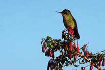 Colibri du Chili