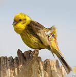 Bruant jaune