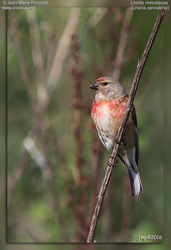 Common Linnet male
