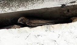 Martinet noir