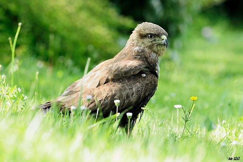 Buse variable adulte