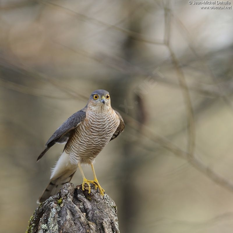 Eurasian Sparrowhawk male adult