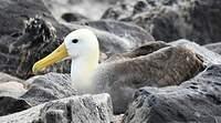 Albatros des Galapagos