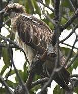 Balbuzard d'Australie