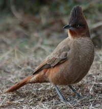 Cacholote brun