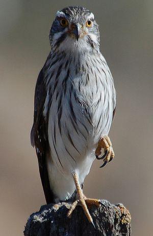 Carnifex à ailes tachetées