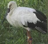 Cigogne orientale